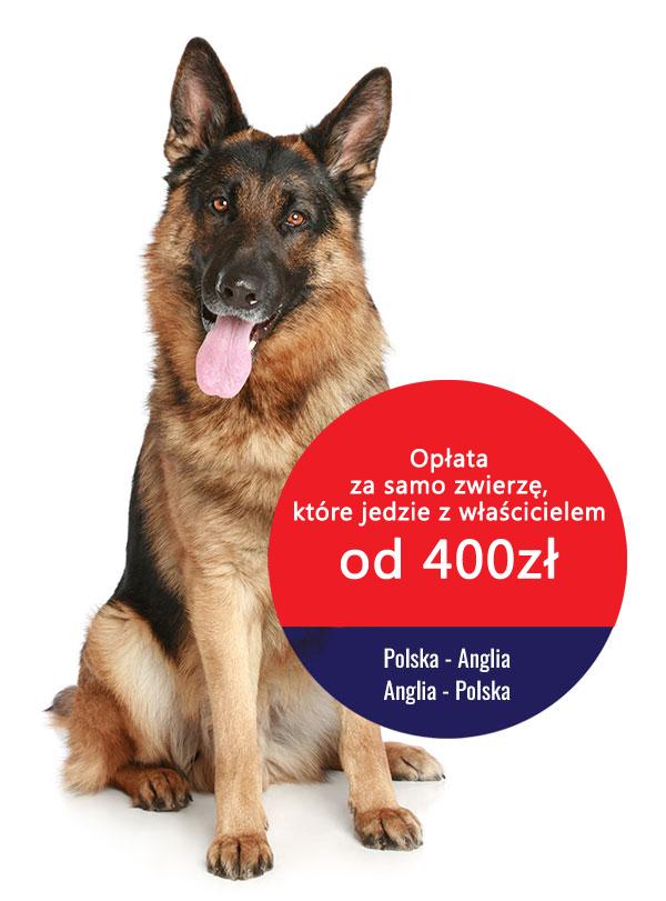 przewóz zwierząt Anglia-Polska